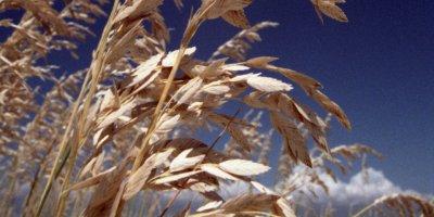 oat beta-glucan